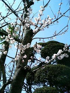 桜も咲いちゃうほど