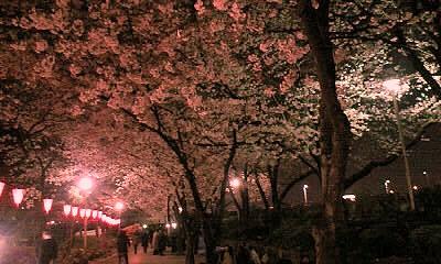 夜桜いいねぇ